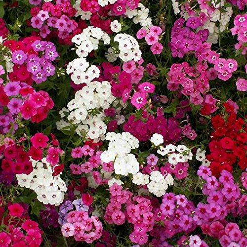 David's Garden Seeds Flower Phlox Annual Tall Mix SL8224 (Multi) 200 Non-GMO, Heirloom Seeds