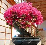 20 piezas/bolsa 22 tipos de semillas de flores de azalea planta de rododendro, plantas de jardn raras de bonsai, como flores de cerezo japons sakura