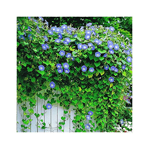 Park Seed Heavenly Blue Morning Glory Se Buy Online In Zimbabwe At Desertcart