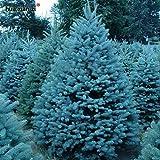Semillas Semillas Bonsai azul Abeto Picea pungens rbol de hoja perenne 100 partculas / bolsa