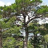 (25 semillas) Pinus nigra Austriaca/austraco pino/pino Negro