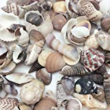 PEPPERLONELY India Natural Sea Shells Mixed, Small, 1/2 Inch to 1-1/2...