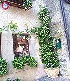 30pcs de jazmín blanco escalada de flores fragantes semillas de plantas árabe...