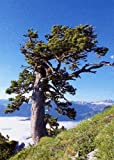 TROPICA - Cedro del Himalaya (Cedrus deodara) - 35 semillas- Resistente invierno