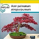 SAFLAX - Set de cultivo - Arce japons - 20 semillas - Con mini-invernadero, sustrato de cultivo y 2 maceteros - Acer palmatum