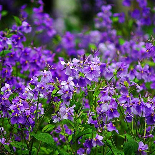 Graines de plantes Orychophragmus 30 + ombre organique aimant le froid orchidée Violet fleur pourpre graines d'herbes pour la plantation de jardin en plein air