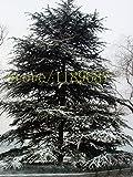 semillas del rbol 100pcs cedro Semilla de hoja perenne Bosque leosa perenne, cedro maceta plantas Semillas Bonsai rbol de pino en Casa y Jardn
