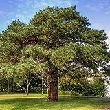 40 Semillas de pino escocs rbol (Pinus sylvestris)