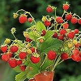 Alpine Fraise Baron Solemacher Graines - fraisier des bois