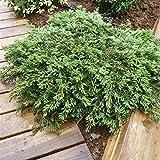 Portal Cool Las Semillas del Paquete: 15-20cm: Enebro rastrero 'Alfombra Verde' Juniperus communis. Cubierta de Tierra Diferentes tamaos