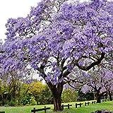 Rosepoem Azul Jacaranda rbol Jacaranda Mimosifolia Impresionante rbol Bonsai - 600pcs