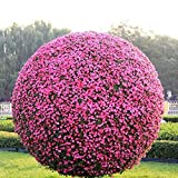 semillas Buxus boj semillas bonsai variedad completa, tasa de germinacin de 95% a 50 pcs