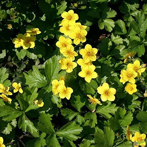 Waldsteinia ternata Golderdbeere Waldsteinie Bodendecker winterhart im Topf (10 Stück)