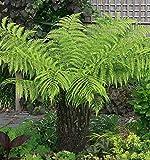 Beautytalk Jardn-Semillas de plantas perennes de helecho robusto de Boston, semillas de plantas de interior semillas de plantas herbceas semillas exticas de bonsai para balcn, jardn