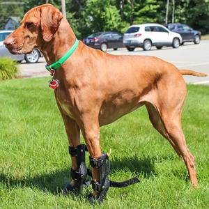 Dog wearing Front Leg Pet Splint on both front legs outdoors