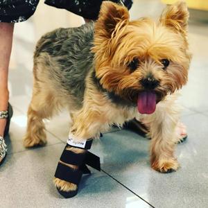 Small dog wearing the Walkin' front leg pet splint
