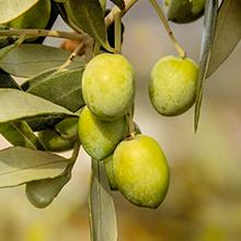 Olive Fuit Oil