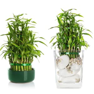 GreenLoop, Bamboo, Bamboo Food, money plants, fertilizer, Indoor plants