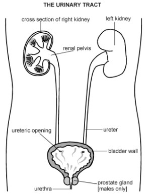 Urinary Tract   Diagram   Patient