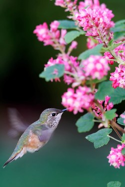 Anna's hummingbird feeding from red flowering currant