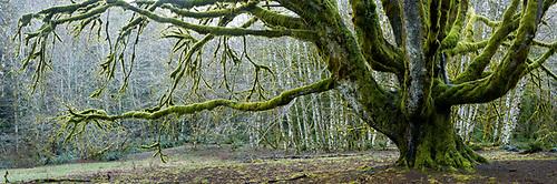 Big leaf maple tree, Fairholme Campground