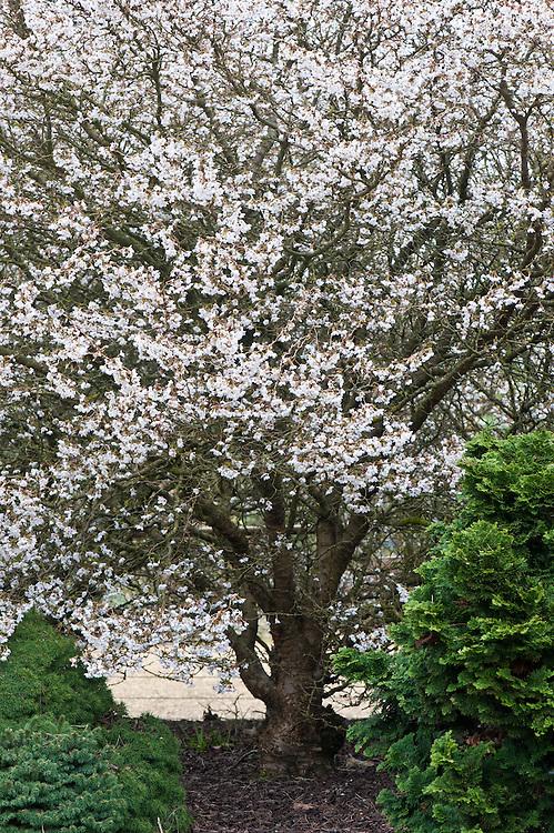 Prunus Kojo No Mai : prunus, Prunus, Incisa, 'Kojo-No-Mai', Buckingham