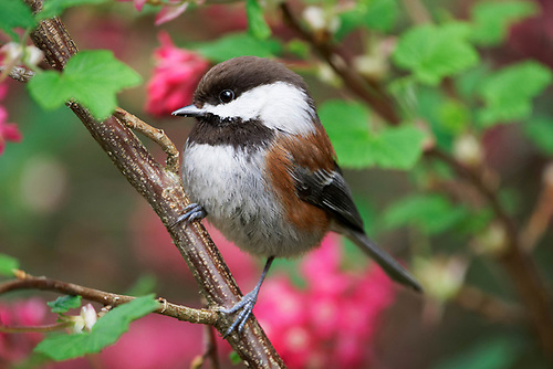 Chestnut-backed chickadee perched on red flowering currant
