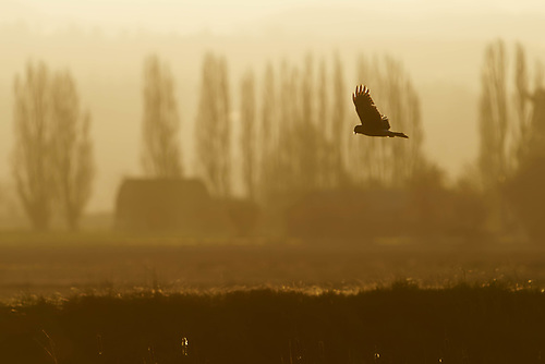 Northern harrier (Circus hudsonius) in flight hunting over Skagit Valley farmland during sunrise.