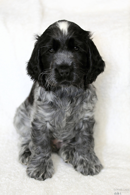 Roan Cocker Spaniel : cocker, spaniel, Cocker, Spaniel, Puppy, Sophie, Photography
