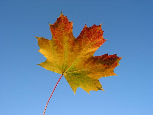 Autumn Leaf Fall Wallpaper Gratis Stock Foto S Rgbstock Gratis Afbeeldingen