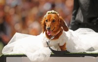 Sausage dogs are competing in a costume parade and it's ...