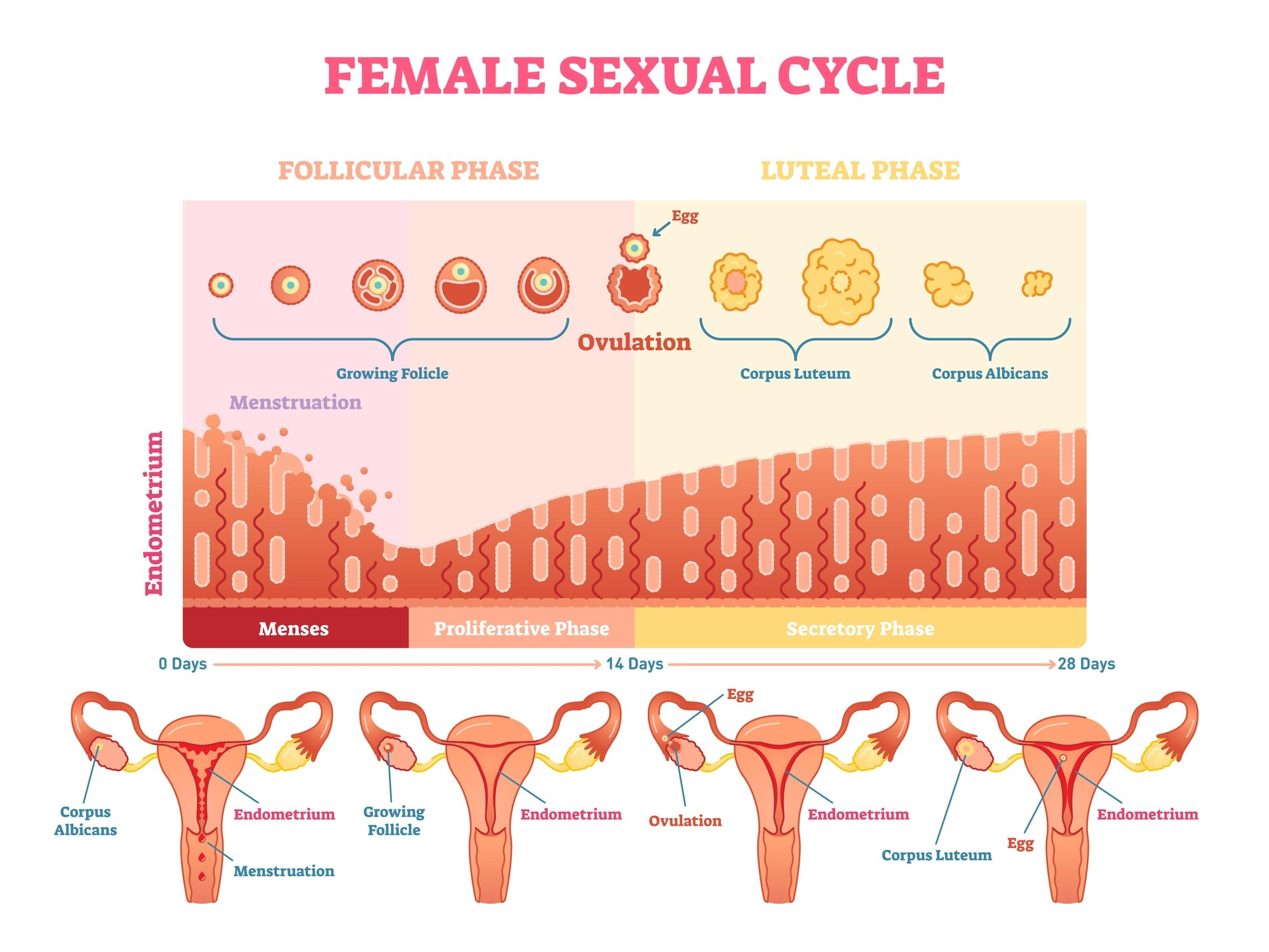 Here's what happens on every day of your menstrual cycle ...