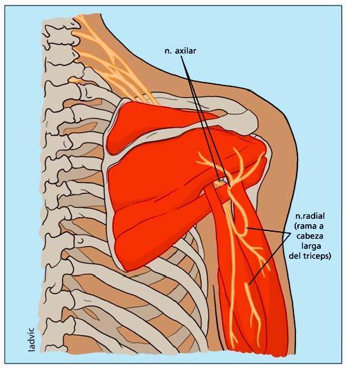 La rehabilitacin tras una lesin del nervio axilar  Paperblog