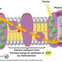 Fotosíntesis humana y la batería eterna.