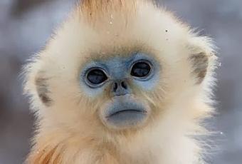sabas que existe un mono con la cara azul  Paperblog