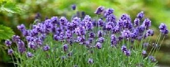 Repelentes naturales. Una planta para cada insecto