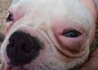 Perro con un cuadro importante de alergia. Posiblemente dermatitis.