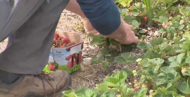 Les champs de fraises de la Mauricie pris d'assaut
