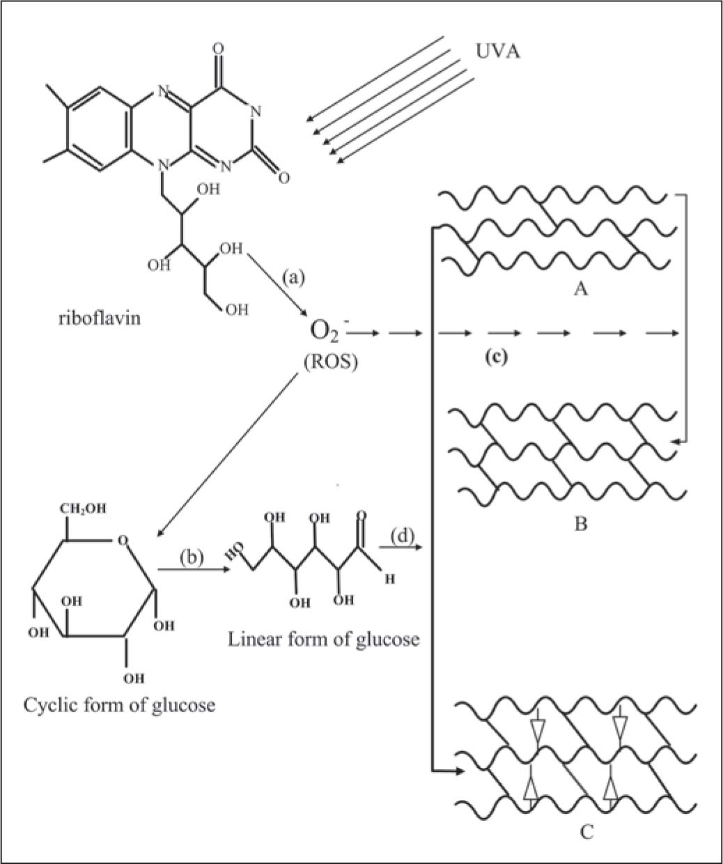 Synergistic Effects Of Ultraviolet A Riboflavin And