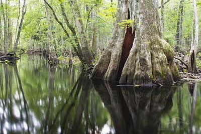 Cypress tree in the Green Swamp, which includes approx 500,000 acres of public forests. Photo by Mac Stone