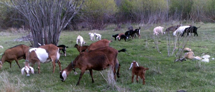 whole-herd.jpg