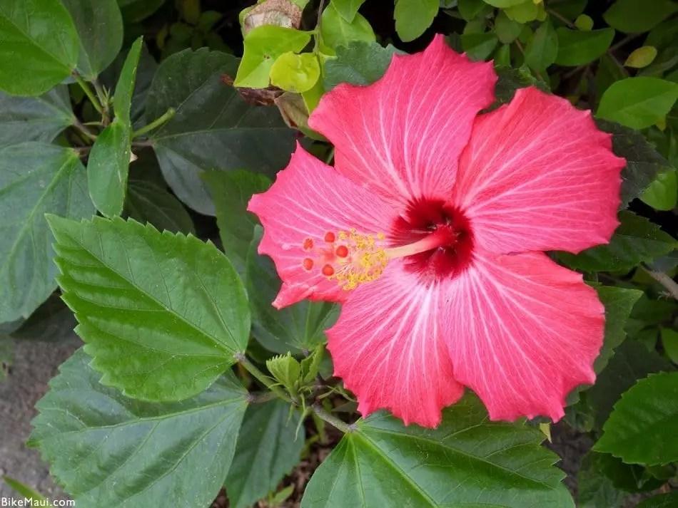 amazonia hibiscus