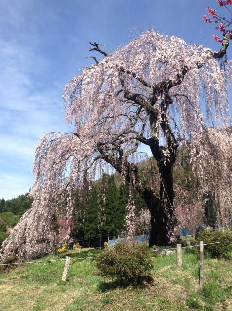 豊丘弁天さんの枝垂れ桜