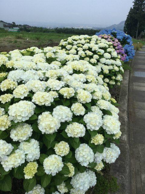 高山村モコモコの紫陽花