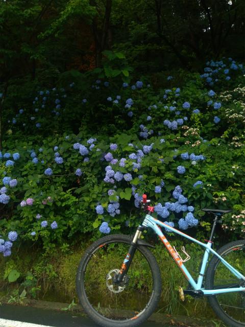 中野市釜上地蔵の紫陽花