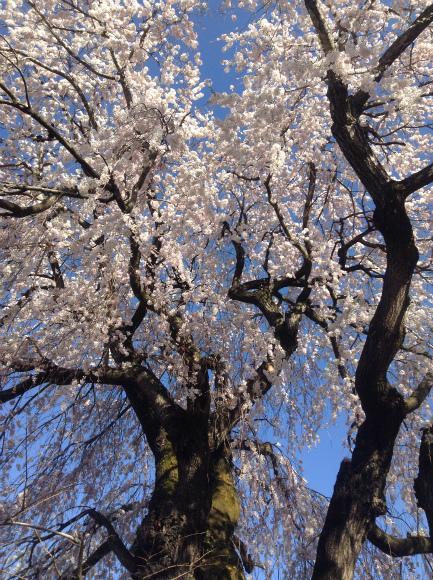 高山村中塩の桜