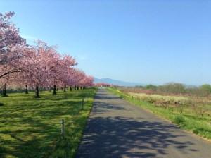 桜の季節小布施千曲川堤防サイクリングロード