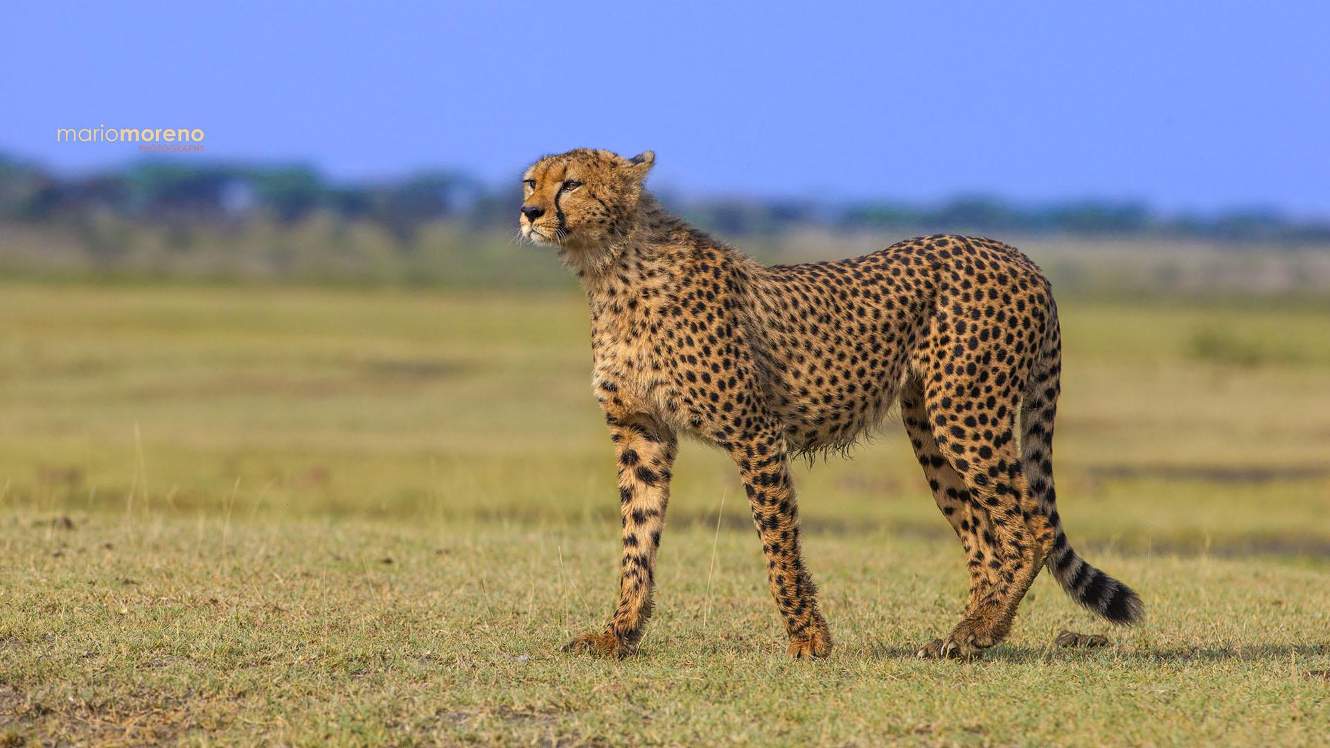 cheetah safari maasai wanderings