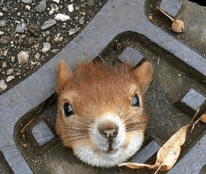 http://www.dailymail.co.uk/news/article-2184458/Stuck-squirr-hell-Rodent-left-feeling-drained-getting-stuck-man-hole-cover.html