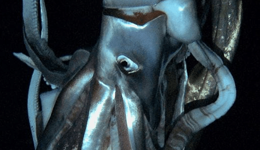 http://www.dailymail.co.uk/sciencetech/article-2258535/Giant-squid-filmed-Amazing-footage-monster-deep-finally-captured-submersible-crew-descend-ocean-abyss-giant-squid-natural-habitat.html